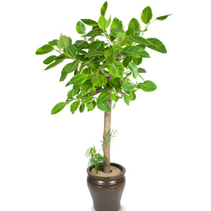 뱅갈고무나무 (사기분)