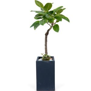 뱅갈고무나무 사각분
