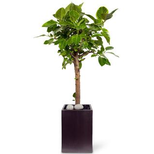 뱅갈고무나무 [premium]