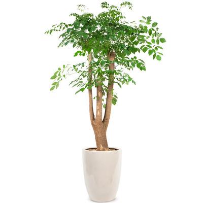 행복나무 (해피트리)