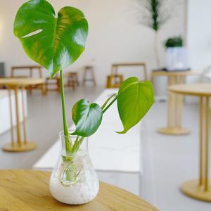 공기정화 반려식물 몬스테라 수경재배 플렌테리어
