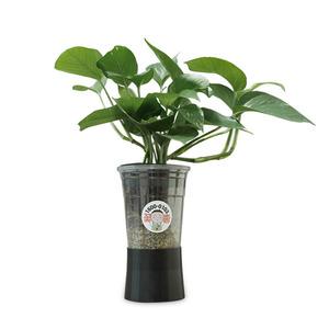 컵플랜트 공기정화식물 스킨답서스