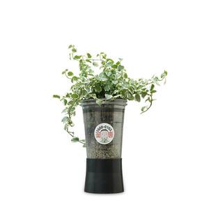 컵플랜트 공기정화식물 인테리어 칼라아이비